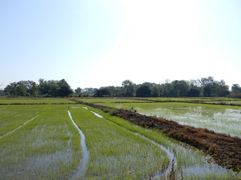 Sukhothai - rice paddies - wet and road in between