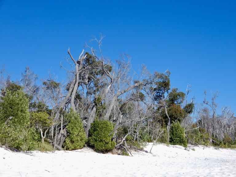 Nieuw groen groeit op de afgeknakte boomstammen op Whiteheaven Beach in the Whitsundays